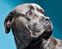 Cane corso-dogs potraits