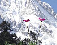 雪山上的花儿