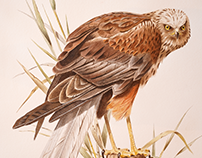 Bird Watercolor Marsh Harrier