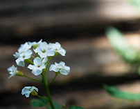 White Bittercress Flowers