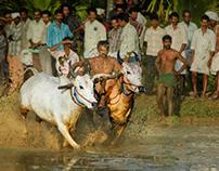 Bull Racing in Kerala