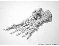 Bones of the Foot Study - Medical Illustration