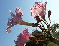 Ipês blossoms