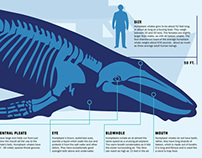 Humpback Whale Infographic