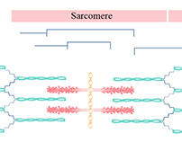 Parts of a Sarcomere Schematic