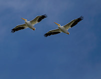White Pelicans 2015 Visit Part Two, Up in the Air