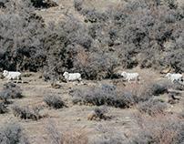 Sheep on the mountain|山上的綿羊