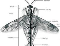 Entomology Illustration Plate: Giant Ichneumon Wasp
