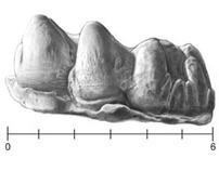 Illustration Plates: Pig Teeth Casts (Tone and Stipple)