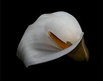 New calla lily...
