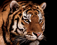 """AsiaCredit Bank """"Business Tigers"""""""
