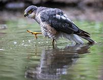 Eurasian sparrowhawk (Accipiter nisus)