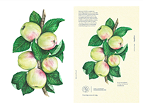 Botanical Apple Illustrations
