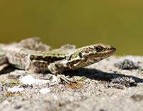 Reptiles & Batraciens