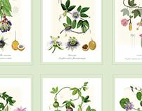 Colombia cultivate Pasiflora Poster 70x100 cm