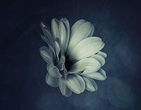Kapkörbchen | Osteospermum