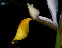 Iris' Beauty...