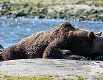 Alaska, Grizzly bear sunbathing