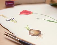 Watercolor botanical illustration of tulip