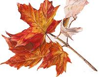 Acer saccharum, Sugar Maple