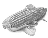 Monochromatic Corn study