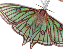 Scientific illustrations Butterfly: Graellsia isabelae
