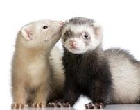 Basic Care for Pet Ferrets