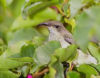Whitebellied Sunbird