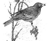 Robin in Mountain Ash