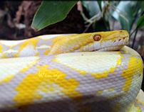 Golden Snake ♥