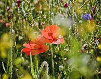 scenes of wildflower poppies