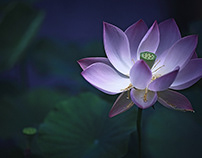 Poem of the Lotus