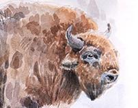 European bison, watercolor 2019