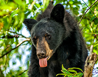 Black Bear - Cades Cove - Great Smoky Mountains
