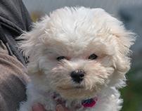 Bichon Frise Puppy 11-14 weeks
