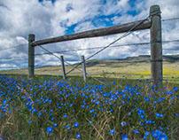 Field of Wild blue Flax