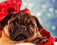 Boris retrato cahorro pug/ Glamour Portrait a pug puppy