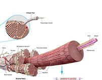 Architecture of a skeletal muscle