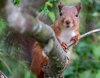 Red Squirrel - Ekorre