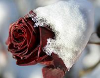 Snow-clad Roses, 2005