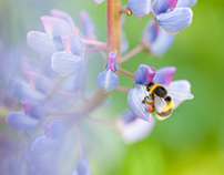 Bees and lupines