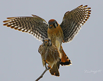 Spring Fever, a Kestrel Love Story