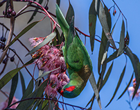 Musk Lorikeet eating nectar from a flowering gum