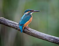 Birds Collection 36