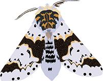 Alder Kitten Moth