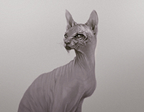 Sphynx Cat + Process Video