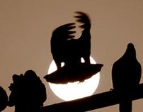 Pigeon sun