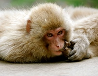 Red Face Snow Monkeys Japan