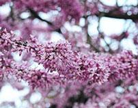 Erguvan Ağacı  /  Judas tree