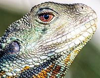 Physignathus lesueurii howittii Gippsland Water Dragon